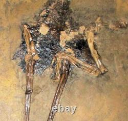 Fine rare 19cm near-complete bird Messelornis cristata superb detail of limbs