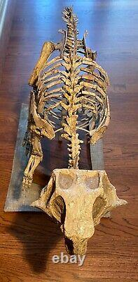 Psittacosaurus fossil. Near complete dinosaur fossil with armature & wood base